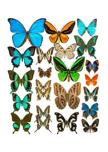 Collectie Vlinders