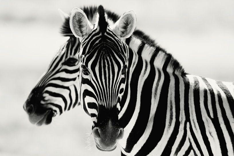 Zebra's  van Reinier Snijders