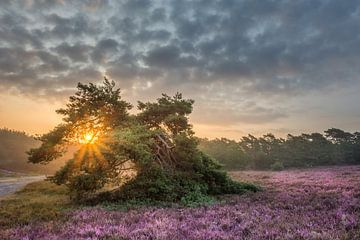Paarse heide pracht tijdens de zonsopkomst van John van de Gazelle