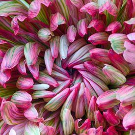 Macro van chrysant bloem van Klaartje Majoor