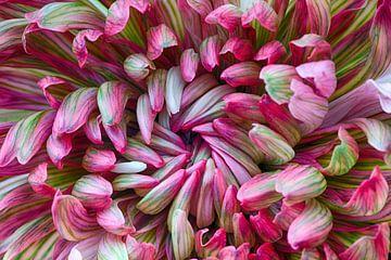 Macro van chrysant bloem