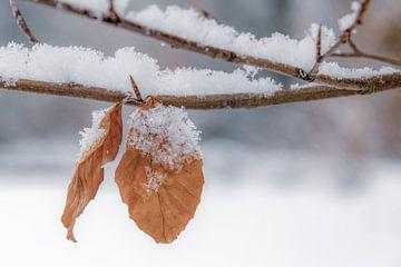 Feuilles dans la neige sur Carla Schenk