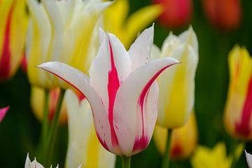 Wit rode schoonheid van Joke Beers-Blom