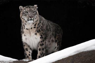 Een sneeuwluipaard op een donkere achtergrond zit en kijkt trots vooruit - een grote kat. van Michael Semenov