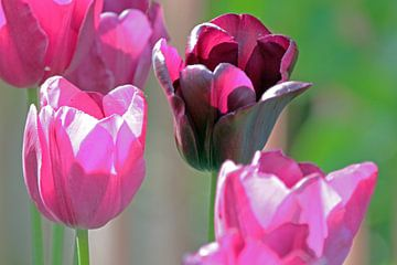 Quatre tulipes sur Artelier Gerdah