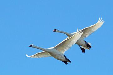 Zwanen in vogelvlucht von Bob Bleeker