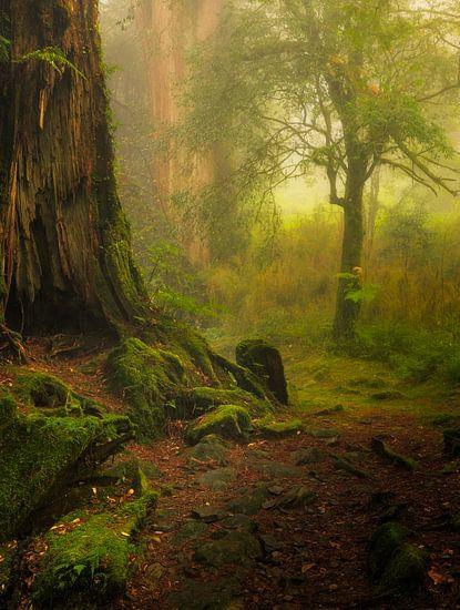 De mooie bossen van Alishan nationaal park in Taiwan.