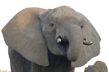 Elefant von Petervanderlecq