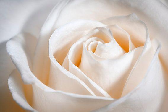 Prachtig hart in het midden van de roos.