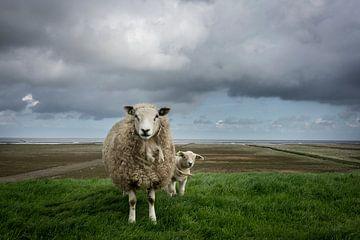 Schafe auf dem Waddendijk von Groningen von Bo Scheeringa