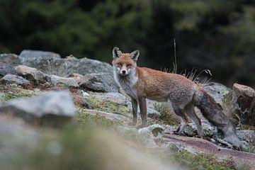 Fuchs, Wildtier von Dominik Imhof