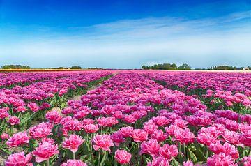 Roze pioentulpen van Sandra de Heij