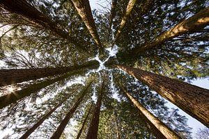 sequoia bomen vanuit beneden gezien  van Mario Driessen