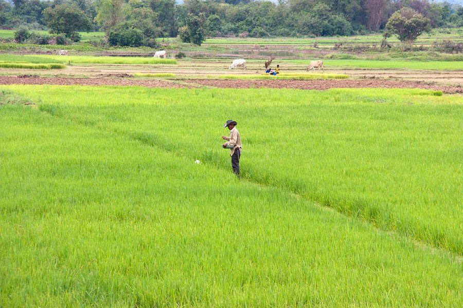 Cambodja - rijstvelden van Jolanda van Eek