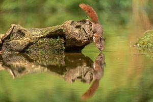 Drinkend eekhoorntje van