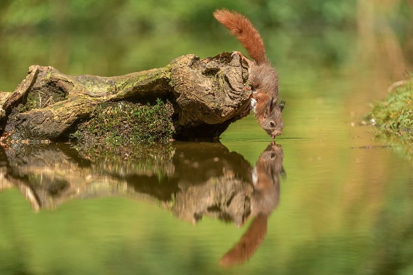 Dorstig eekhoorntje van Gonnie van de Schans