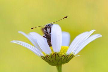 Komma Schmetterling von Bastian Boogaard