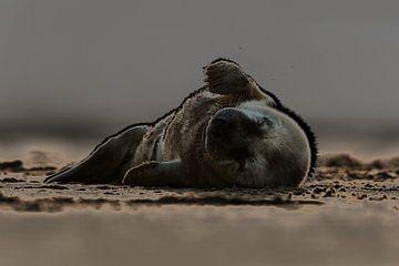 Jonge Grijze Zeehond liggend op het strand van Jeroen Stel