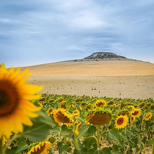 Sonnenblume von Christophe Castillon