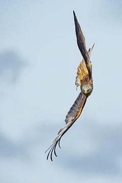 Rotmilan im Flug in England von Jeroen Stel