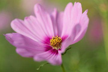 Pink anemone von