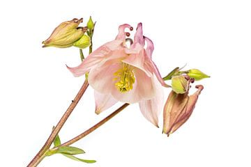 De bloem van de Akelei met witte achtergrond von Harrie Muis