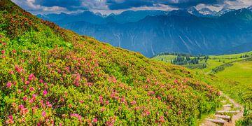 Alpenroosbloesem, Fellhorn, Allgäuer Alpen van Walter G. Allgöwer