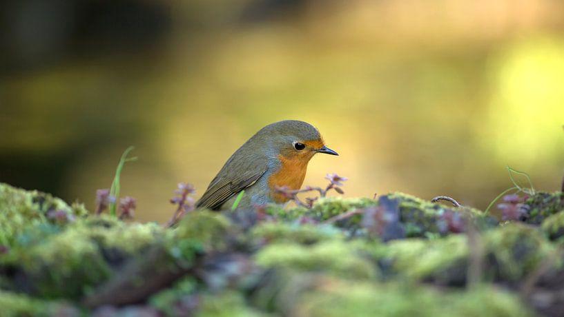 Robin von sjaak vogel