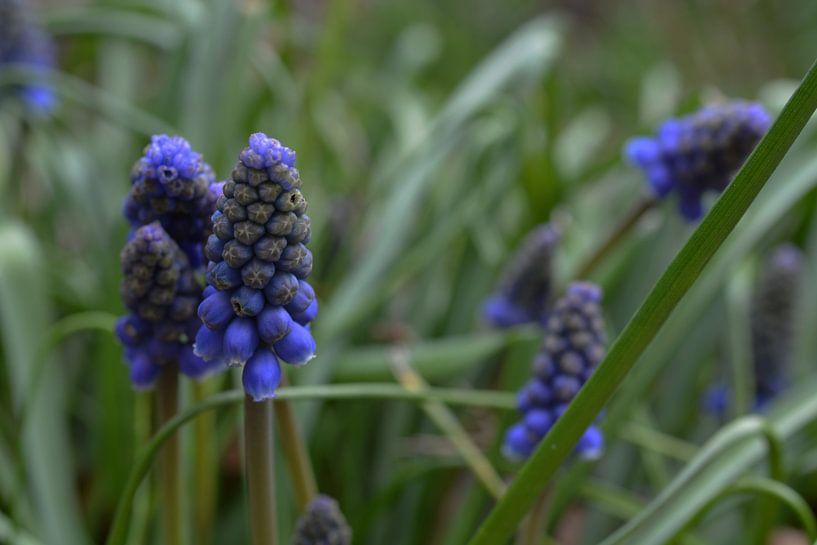 Blauwe Druifjes van FotoGraaG Hanneke