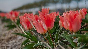 Tulpen in Lisse von Charelle Roeda