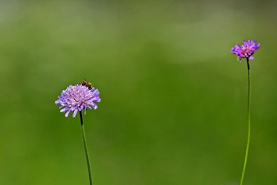 paarse korenbloem van Antwan Janssen