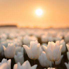 Een tulpen droom van Claire Droppert