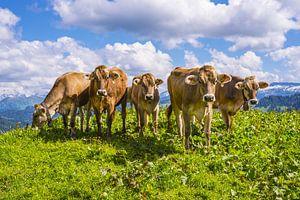 Allgäu cows