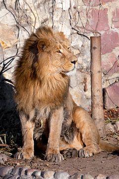 schwungvoll. Ein kräftiges Löwenmännchen mit einer schicken, von der Sonne geweihten Mähne. von Michael Semenov
