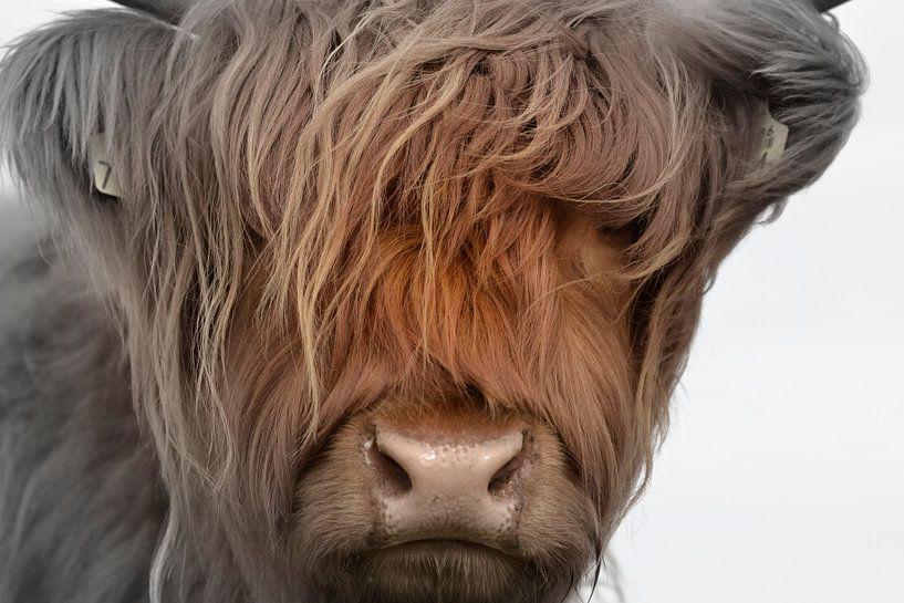 Kop kalf Schotse hooglander 2 kleurig van Sascha van Dam