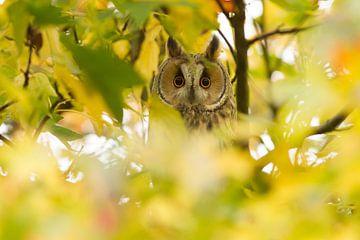Ransuil in de herfstbladeren van Marianne Jonkman