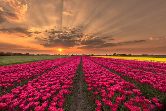 Amazing tulips sunset van Costas Ganasos