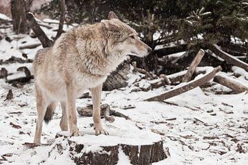 Femelle loup gris dans la neige, bel animal fort en hiver. sur Michael Semenov