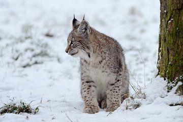 Luchs (Lynx lynx), Jungtier, schönes Winterfell, sitzt im Schnee, Europa. von wunderbare Erde