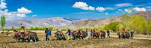 Landarbeid met gebruik van jaks, Tibet. Panorama