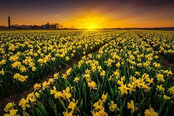 Narcis bloemenveld sur Albert Dros