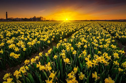 Narcis bloemenveld van Albert Dros