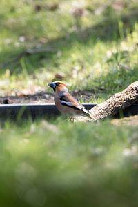 Bouvreuil sur l'eau | oiseaux du Sud-Kennemerland