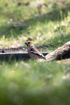 Appelvink aan het water | vogels van Zuid-Kennemerland van Dylan gaat naar buiten