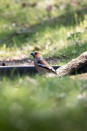 Appelvink aan het water | vogels van Zuid-Kennemerland