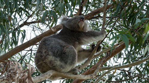 Koala op de uitkijk van