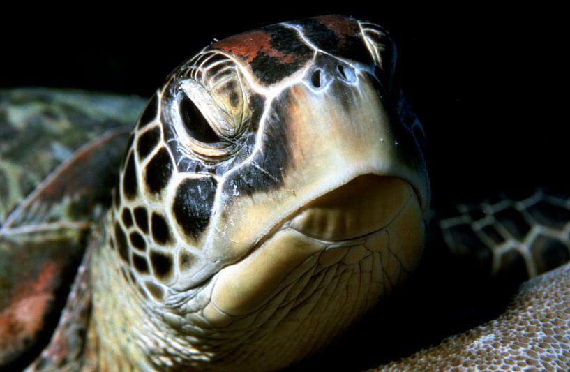 Meeresschildkröte (grüne Schildkröte) von Alexander Schulz