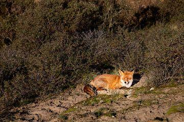 Fuchs in den Dünen von Jolien Marijt