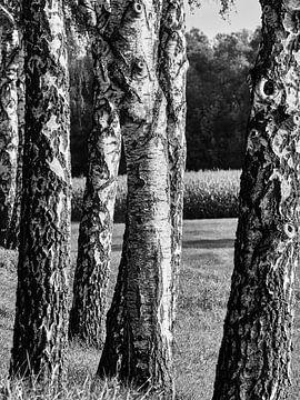 Birken erzeugen schwarzweiß Verlauf mit Feld im Hintergrund von Christian Mueller