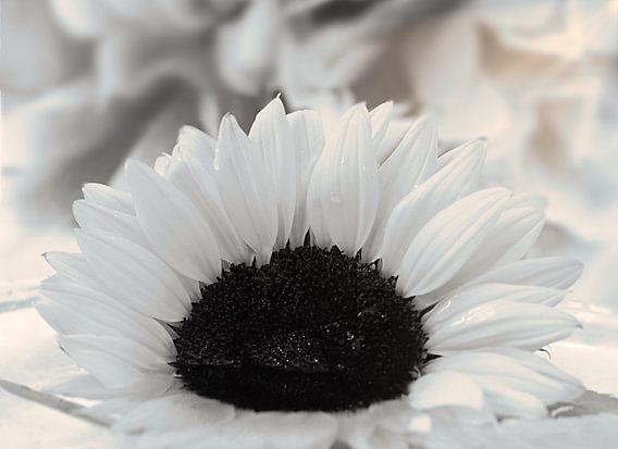 Een witte zonnebloem